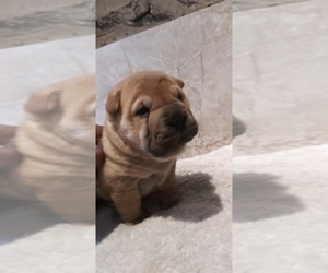 Chinese Shar-Pei Puppy for sale in BALTIMORE, MD, USA