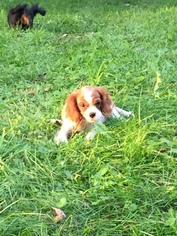 Cavalier King Charles Spaniel Puppy For Sale in PARIS, OH