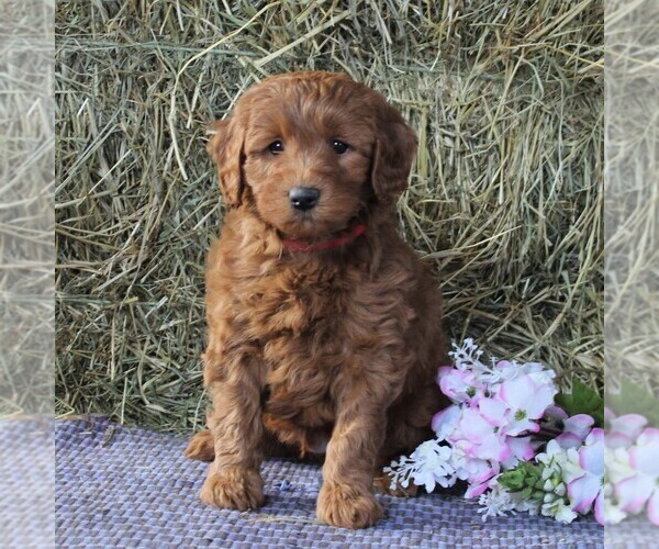 View Ad: Labradoodle-Poodle (Miniature) Mix Puppy for Sale In Germany