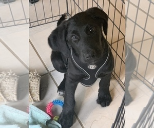 Labradoodle Dog for Adoption in MURPHY, Texas USA