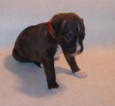 DFW Texas Boxer Puppies