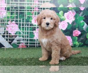 Goldendoodle Dog for Adoption in MARIETTA, Georgia USA