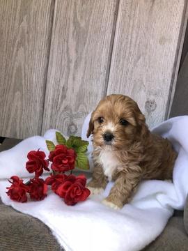 Cavapoochon Mix puppy