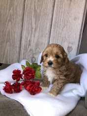 Cavapoochon Mix Puppy For Sale in SHIPSHEWANA, IN, USA