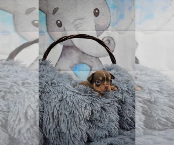 Medium Photo #3 Chihuahua Puppy For Sale in HAMPTON, VA, USA