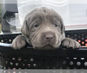 Labrador Retriever Puppy for Sale in CLINTON, South Carolina USA