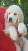 Golden Retriever Puppy For Sale in UTICA, NY, USA