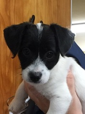 Jack-A-Poo Puppy For Sale in GAFFNEY, SC, USA