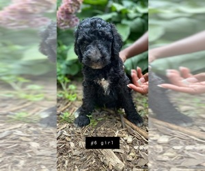 Poodle (Standard) Puppy for sale in MONCLOVA, OH, USA