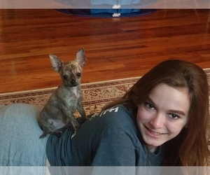Chihuahua Puppy for sale in MILFORD, PA, USA