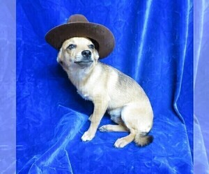 Chihuahua Dogs for adoption in GROVESPRING, MO, USA