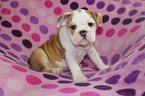 Bulldog Puppy For Sale in RICHMOND, KY