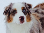 Australian Shepherd Puppy For Sale in PORT ANGELES, WA, USA