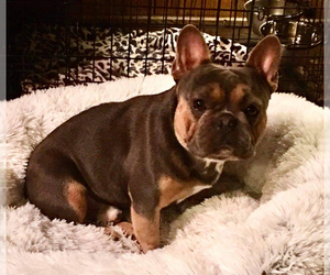 Father of the French Bulldog puppies born on 05/04/2021