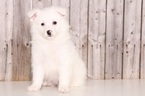 American Eskimo Dog Puppy For Sale in MOUNT VERNON, OH,