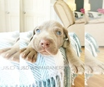 Puppy 3 Weimaraner