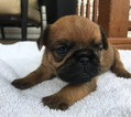 Brussels Griffon Puppy For Sale in DAYTON, OH, USA