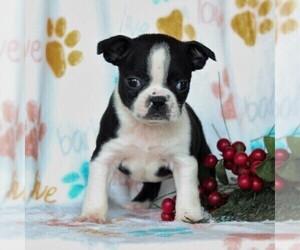 Boston Terrier Puppy for sale in GORDONVILLE, PA, USA