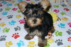 Yorkshire Terrier Puppy For Sale in TUCSON, AZ, USA