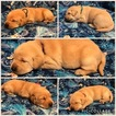Labrador Retriever Puppy For Sale in RED BUD, IL