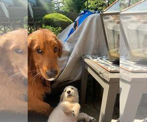 Father of the Goldendoodle puppies born on 09/10/2020