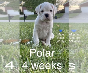 Boxer Puppy for sale in CRESTWOOD, KY, USA