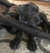 Great Dane Puppy For Sale in CHARDON, OH,