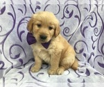 Marilyn the AKC Golden Retriever