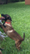 Belgian Malinois Puppy For Sale in MISSION, TX,