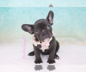 French Bulldog Puppy for sale in LAS VEGAS, NV, USA