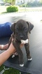 Boxer Puppy For Sale in GOLDEN, CO, USA