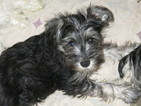 Schnauzer (Miniature) Puppy For Sale in LYNCHBURG, VA