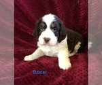 Puppy 5 English Springer Spaniel
