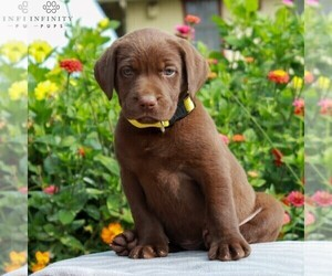 Labrador Retriever Puppy for sale in LEBANON, PA, USA
