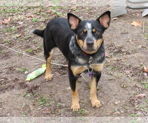 Australian Cattle Dog Dogs for adoption in DRUMMONDS, TN, USA