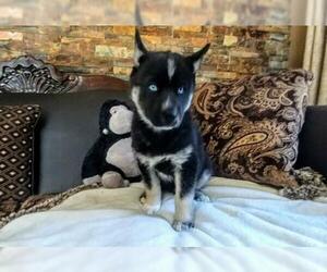 Siberian Husky Puppy for Sale in WILDOMAR, California USA