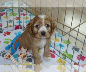 Cocker Spaniel Puppy for Sale in ORO VALLEY, Arizona USA
