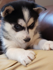 Siberian Husky Puppy For Sale in CENTERBURG, OH, USA