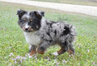 View Ad Miniature Australian Shepherd Litter Of Puppies For Sale