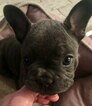 French Bulldog Puppy For Sale in WEST PLAINS, MO, USA