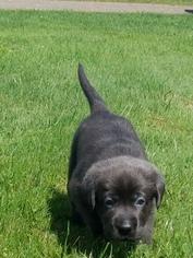 Labrador Retriever Puppy For Sale in SIDNEY CENTER, NY, USA
