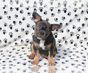 French Bulldog Puppy for sale in STONE MOUNTAIN, GA, USA