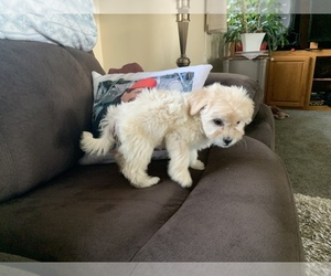Maltipoo Puppy for sale in MADRAS, OR, USA