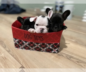 French Bulldog Puppy for sale in CITRUS HEIGHTS, CA, USA