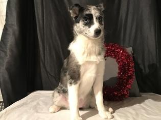 Bella; Pomsky Puppy For Sale near 52625, Donnellson, IA, USA