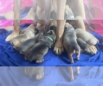 Puppy 9 Boerboel