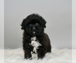 Australian Shepherd-Poodle (Toy) Mix Puppy for Sale in WARSAW, Indiana USA