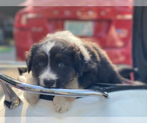 Australian Shepherd Puppy for sale in MANCHESTER, NH, USA