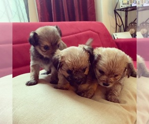 Shorkie Tzu Puppy for sale in LITHONIA, GA, USA