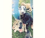 Great Dane Puppy For Sale in EDGEFIELD, SC, USA